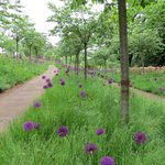 Alliums in the Cherry Orchard