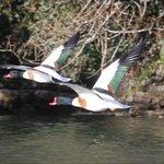 Shelducks in Flight