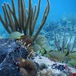 Grunts at Turtle Reef