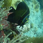 Angelfish at Turtle Reef