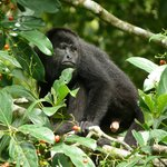 Howler Monkey next to River Cabin