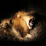 Amazing sighting on the night game drive