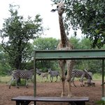 Giraffes on property