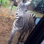 Zebra alert!