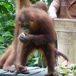 Orang-Utan Feeding on Fruit