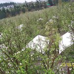 AOFC Camp Site among flowering apple trees