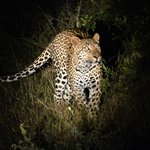 leopard during the night drive