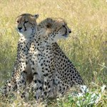 two cheetah which we tracked for two days