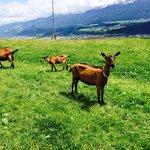 Capre e sullo sfondo Innsbruck