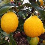 Abundant lemons