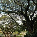 The beautiful, massive trees