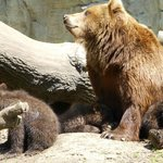 Brown bear with 5 month old cubs