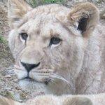 Jeune lionne (née en 2013)