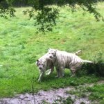 Tigres blancs (photo de 2013)