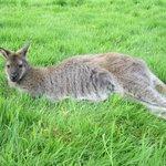 Wallaby en liberté