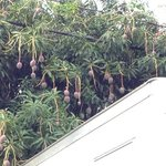 tree loaded with mangos hanging into back lot
