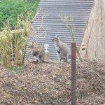 Wallaby autour des zoobservatoires