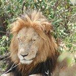 Lion King...sleeping