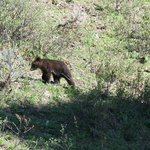 Black bear cub in Grand Tetons