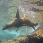 Scuba Diving with Sea Lions