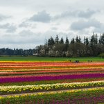 An array of different colored tulips!