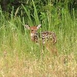 Tiny Fawn seen on way into Stetson's