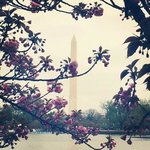 Washington Monument through the cherry blossoms