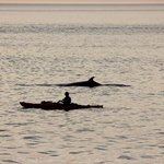 Close enough?  kayaker wasn't chasing whale, it simply surfaced next to him.