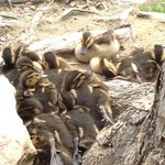 Baby ducks sleeping