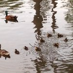 Baby ducks swimming