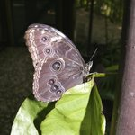 Adult morpho butterfly