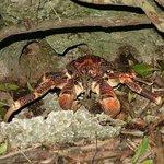 Coconut Crabs!