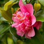 camellias?