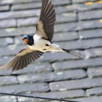 Swallows nesting in the eaves