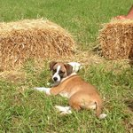 Puppy sitting with me at the small hay bales