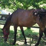 cavallo recintato