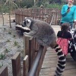 Getting close to the lemurs
