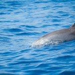 Delfin moteado, visto desde el Fantasy el 27/05/2014