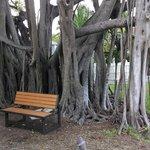 Great old Bantam tree
