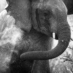 An elephant giving itself a dust bath