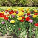 Happy tulips greet visitors