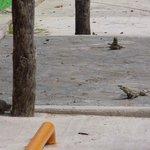 Iguanas pelo Caminho...