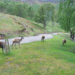 Deers right outside the cabin.