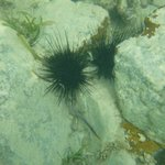 Black sea urchins