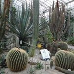 Кактусы в оранжерее ботанического сада