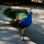 One of the peacocks on the hotel grounds