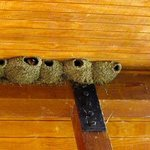 Swallows nesting above our balcony