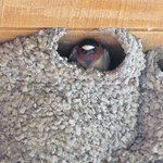 Swallow nesting above our balcony