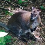 Wallaby and very cute baby
