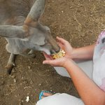 Feeding Ruby the Kangaroo
